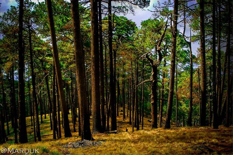lugares acampar bosque tecate lleno de pinos